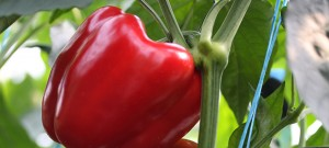 capsicum closeup greenhouse