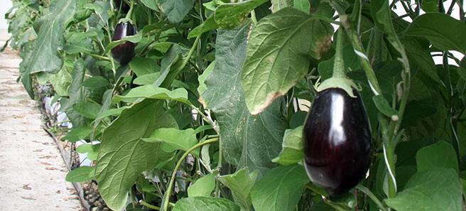 eggplant hydroponic