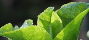 lettuce wet